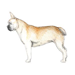 weißer-Hintergrund_französische-Bulldogge_Illustrationen-für-Hundeblogger_Aram-und-Abra-300x300 Kräuter für Hunde - Die Bio-Wiese
